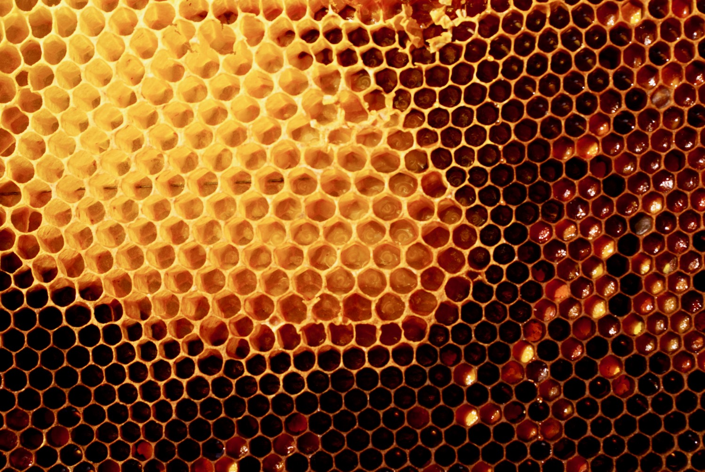 Panal de abejas, con cera antigua y recién construida.